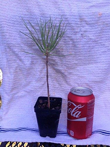 2 Japanese Black Pine, Pinus Thunbergii, Pre Bonsai Stock. in 2 inch (Bonsai Stock)