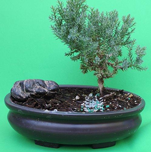 Fertilized Juniper Bonsai with rock sold by JM Bamboo