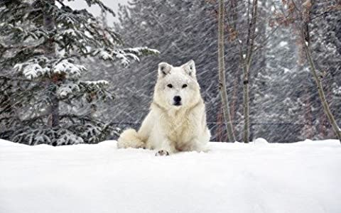 BEAUTIFUL WHITE WOLF GLOSSY POSTER PICTURE PHOTO snow wolves pack winter - Snow White Pictures