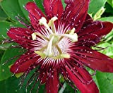 "9GreenBox - Lady Margaret Passion Flower - 4"" Pot"