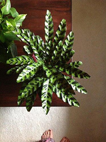 Rattlesnake Plant - Calathea lancifolia - Easy To Grow House Plant - 4'' Pot by Florida Foliage (Image #1)