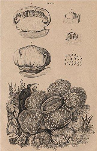 """Résultat de recherche d'images pour """"rafflesia old illustration"""""""
