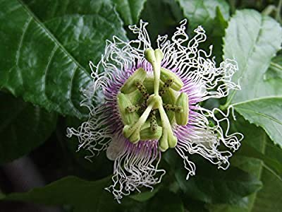 10 Real Sweet Passion Fruit Seeds ***High Germination Rate for Seeds*** -Passiflora Edulis-