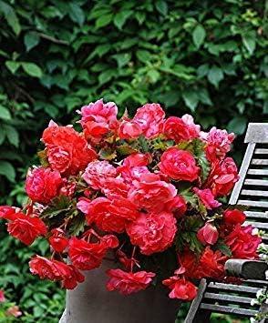 Semi Fiori Online.Potseed Semi Di Fiore Semi Begonia Fiore Bianco Per Semi