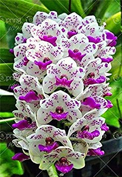 Brand New! 150pcs Cymbidium orchid,Cymbidium seeds,bonsai flower seeds,22 colours to choose,plant for home garden