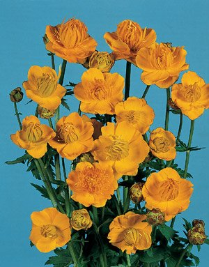 Trollius (Globeflower) ledebouri Golden Queen 1,000 seeds