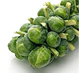 David's Garden Seeds Brussels Sprouts Long Island Improved OS14D (Green) 100 Heirloom Seeds