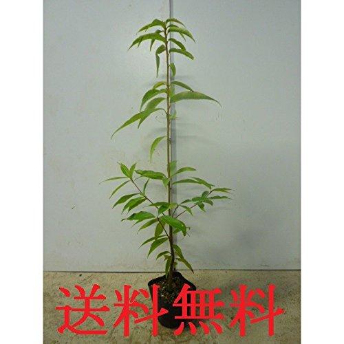 【ノーブランド品】シラカシ樹高0.8m前後10.5cmポット【40本セット】 B0154P7RE2