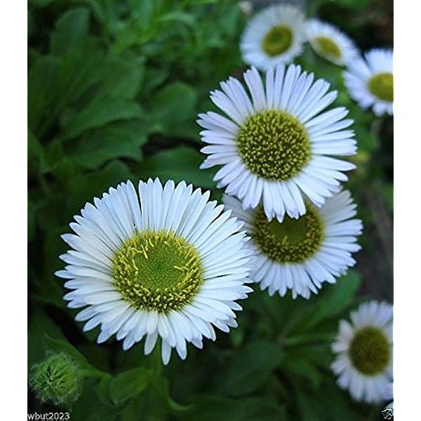 USA SELLER Fleabane Daisy 500 seeds HEIRLOOM