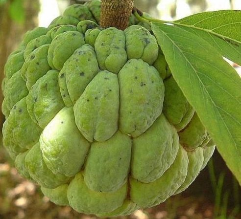 Fresh Annona Squamosa - Sugar Apple - Rare Tropical Plant Tree 10 ()