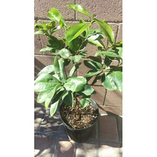Grumichama Brazilian Cherry Tropical Fruit Trees 30-36 Inch Height in 3 Gallon Pot #BS1 by iniloplant (Image #1)