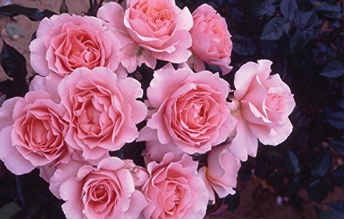 """""""L'aimant"""" 4.5 Litre Bush Rose, Shell Pink Greenbrokers Limited 5028320965170"""