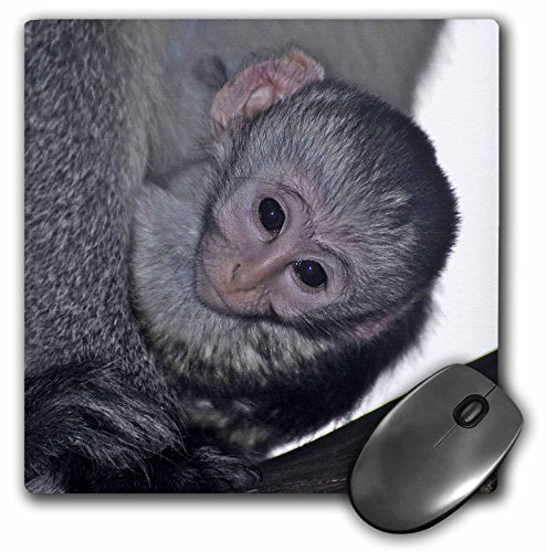 Black Faced Vervet Monkey - 3dRose Kike Calvo Animals - Black faced vervet monkey Masai Mara National Park Kenya Africa - MousePad (mp_9868_1)