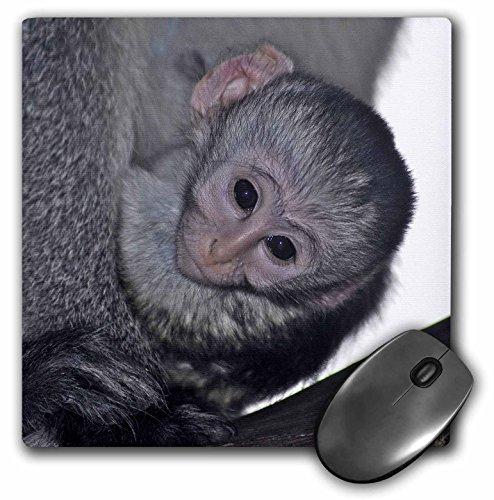 3dRose Kike Calvo Animals - Black faced vervet monkey Masai Mara National Park Kenya Africa - MousePad (mp_9868_1) ()