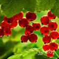 Best-Selling!Red currant Fruit plant Pan-American Gooseberry seeds Lantern fruit seed sementes da fruta - 5 pcs/Pack,#QWQI4V