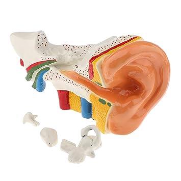 Perfk Estructura De Oído Humano Modelo Realista De Anatomía