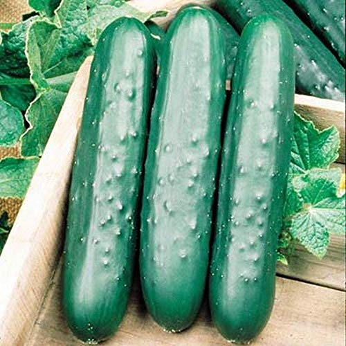 Speedway F1 Cucumber Seeds (40 Seed Pack)