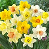 Mixed Daffodils 500+ Bulbs
