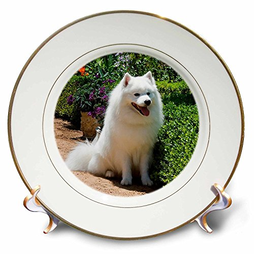 (3dRose cp_88781_1 American Eskimo Dog Zandria Muench Beraldo Porcelain Plate, 8-Inch)