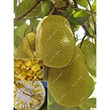 new fresh seeds Tropical Rare seed fruit trees jackfruit seeds Pot large new garden plants flowering plants10pcs