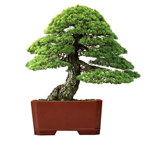 - Lioder 20Pcs Utah Juniper Bonsai Tree Taxus Cuspidata Zelkova Serrata Bonsai Tree (Juniperus osteosperma) Cypress Seeds