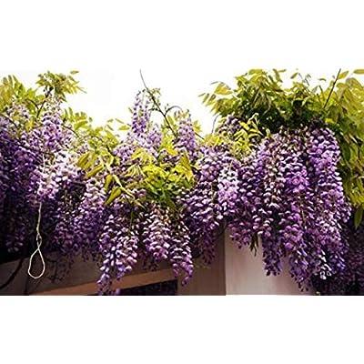 20 Purple Wisteria Vine Seeds : Garden & Outdoor