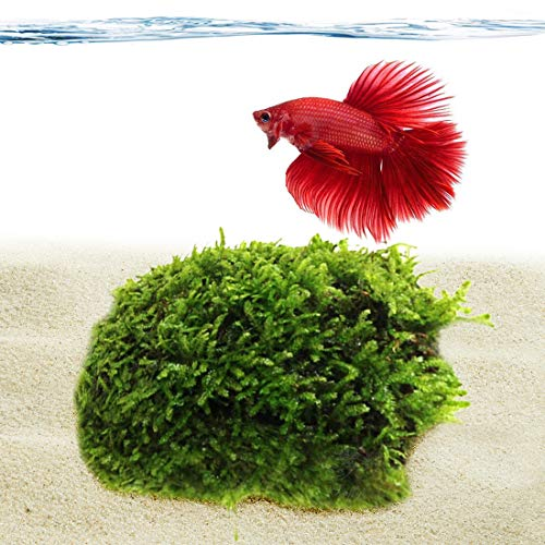 Luffy Betta Coco Mini Moss (1pc) - 3