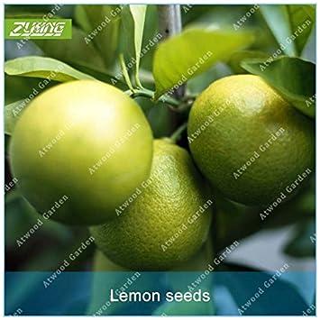 ZLKING 50pcs Mini verde chino fruta del limón Bonsai Semillas cal orgánica rica en vitaminas empapado en agua Bebidas plantas de jardín: Amazon.es: Jardín