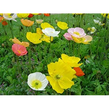 Amazon 2500 mixed colors iceland poppy papaver nudicaule 2500 mixed colors iceland poppy papaver nudicaule flower seeds mightylinksfo Gallery