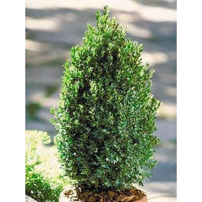 Green Mountain Boxwood - Ten Live Plants in Gallon Pots by DAS Farms (No California) : Shrub Plants : Garden & Outdoor