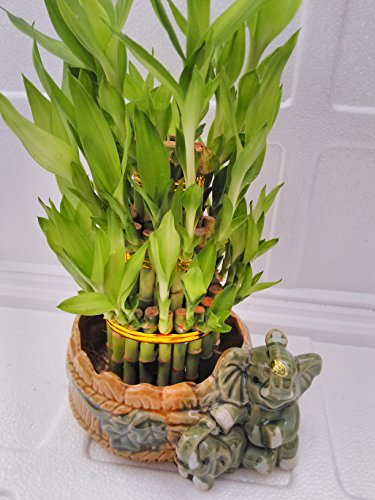 (jmbamboo-Three Tiered Lucky Bamboo Arrangement Elephant Vase Favor)
