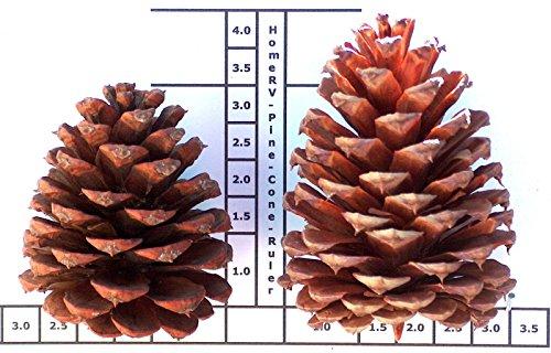 48 Oregon Grown 3 To 4 Inch Pacific Ponderosa Pinecone : Crafts : Indoor Outdoor Holiday Decoration