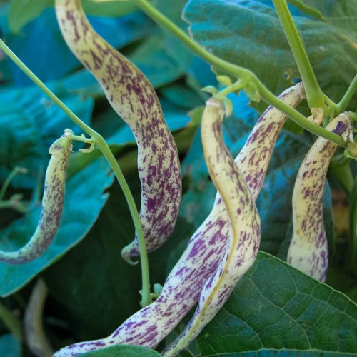 All Good Things Organic Seeds Dragon Langerie Snap Bean Seeds (~18): Certified Organic, Non-GMO, Heirloom, Open Pollinated Seeds from the United States