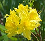 Lemon Lights Yellow Deciduous Azalea - Live Plant - Quart Pot