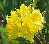 Cheap Lemon Lights Yellow Deciduous Azalea – Live Plant – Quart Pot