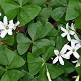 "Oxalis Regnellii (Lucky Shamrock) - 20 robust bulbs - 3/4"" Tubers 