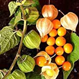 CAPE GOOSEBERRY 250 SEEDS Medicinal Heirloom Physalis peruviana Rare USA Seller