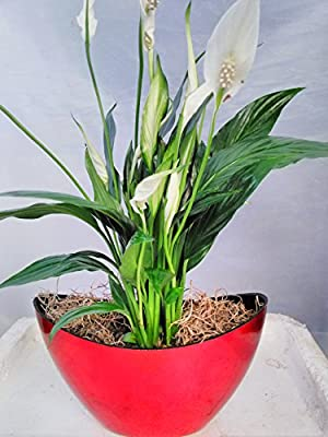 Jmbambo - Peace Lily Spathiphyllum with Pot 9x5'' Inches 5'' Tall Indoor Air Purification Plant for Home by jmbamboo