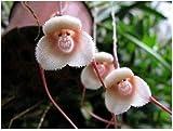 HOT Sale Potted Peru Monkey Face Orchid Seeds , Senior Phalaenopsis Bonsai Plants Flower Seeds -100 Pcs (Monkey 1)