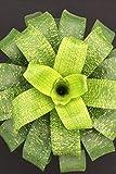 Vriesea Fenestralis Bromeliad, Landscape Plant, 6 Pack, (Cant Ship CA)