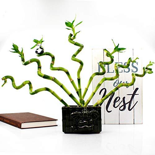 Best Indoor Water Plants -LUCKY BAMBOO PLANT