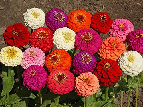 Lilliput Dwarf Zinnia Mix Seeds for Easy Grow Long Lasting Cut Flowers Attract Butterflies S13 (16K Seeds, or 1/4 LB)