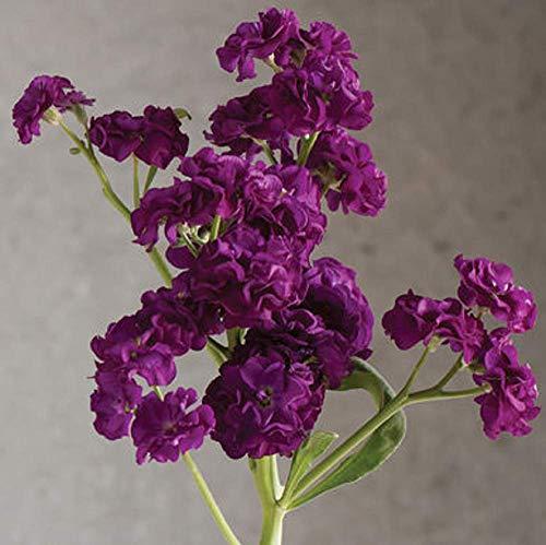 - David's Garden Seeds Flower Stock Quartet Purple SL (Purple) 50 Non-GMO, Open Pollinated Seeds
