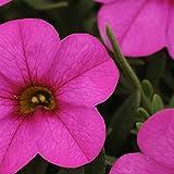 Calibrachoa Flower Seeds - Kabloom Series - Deep Pink - 100 Seeds - Annual Flower Garden Seeds by Mountain Valley