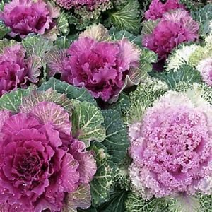 50 Seeds of Ornamental Cabbage Eye-Catching Colors