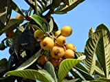 Eriobotrya Japonica Loquat - Delicious Fruit, Evergreen Tree! 1 Plant!