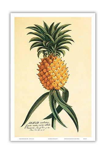 Ho'okipa (Hospitality) - Hawaiian Pineapple - Book Plate: 18th Century Plantae Selectae - Vintage Botanical Illustration by Georg Dionysius Ehret c.1742 - Master Art Print - 12 x 18in by Pacifica Island Art
