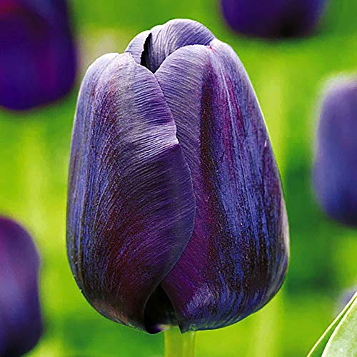 ('Paul Scherer' Single Late Tulip 10 Bulbs - 12/+ cm Bulbs - Darkest Black Tulip)