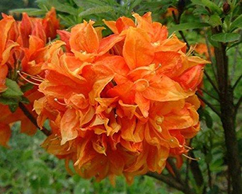 Gibraltar Orange Deciduous Azalea - Live Plant - Starter Plug (Evergreen Azalea)