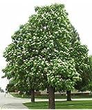 50 Northern Catalpa Tree Seeds, Catalpa Speciosa